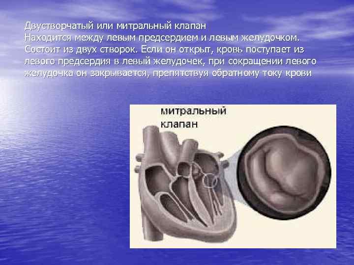 Двустворчатый или митральный клапан Находится между левым предсердием и левым желудочком. Состоит из двух
