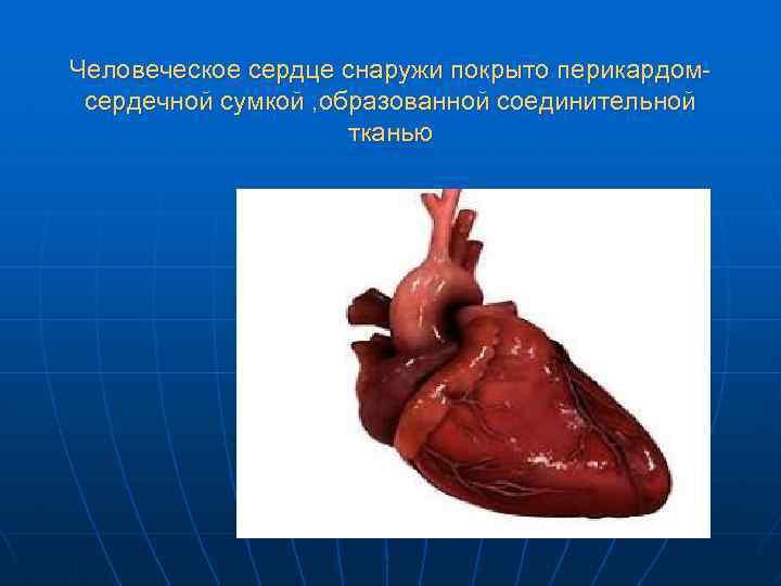 Человеческое сердце снаружи покрыто перикардомсердечной сумкой , образованной соединительной тканью