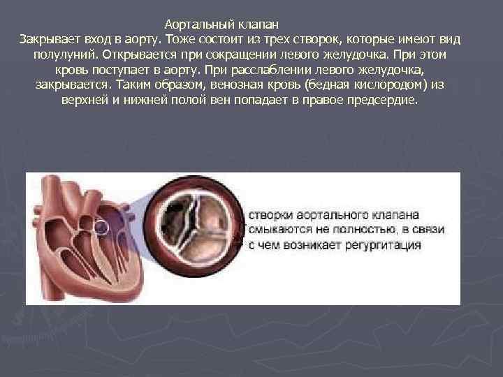 Аортальный клапан Закрывает вход в аорту. Тоже состоит из трех створок, которые имеют вид