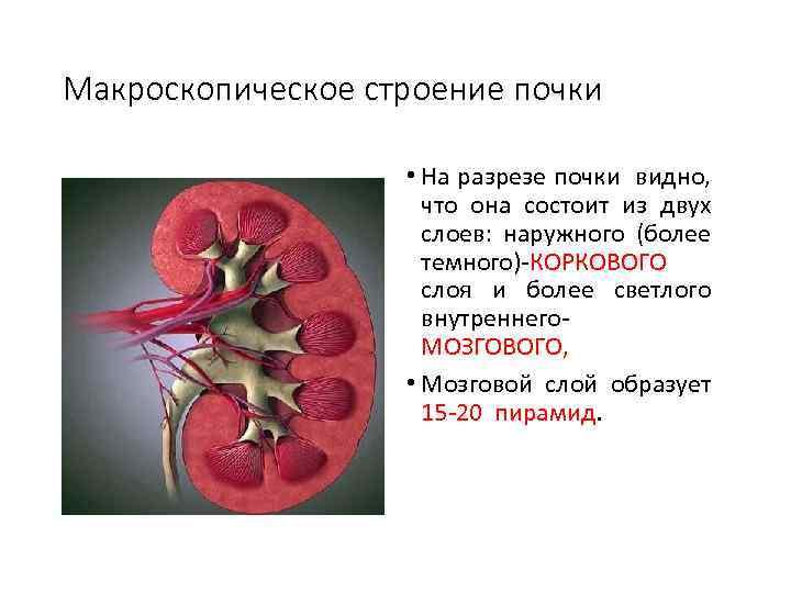 Макроскопическое строение почки • На разрезе почки видно, что она состоит из двух слоев: