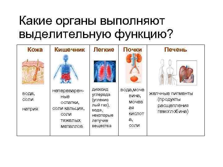 Какие органы выполняют выделительную функцию? Кожа вода, соли натрия Кишечник Легкие непереваренные остатки, соли