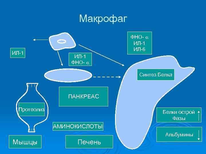 Макрофаг ИЛ-1 ФНО- ИЛ-1 ИЛ-6 ИЛ-1 ФНО- Синтез Белка ПАНКРЕАС Протеолиз Белки острой Фазы