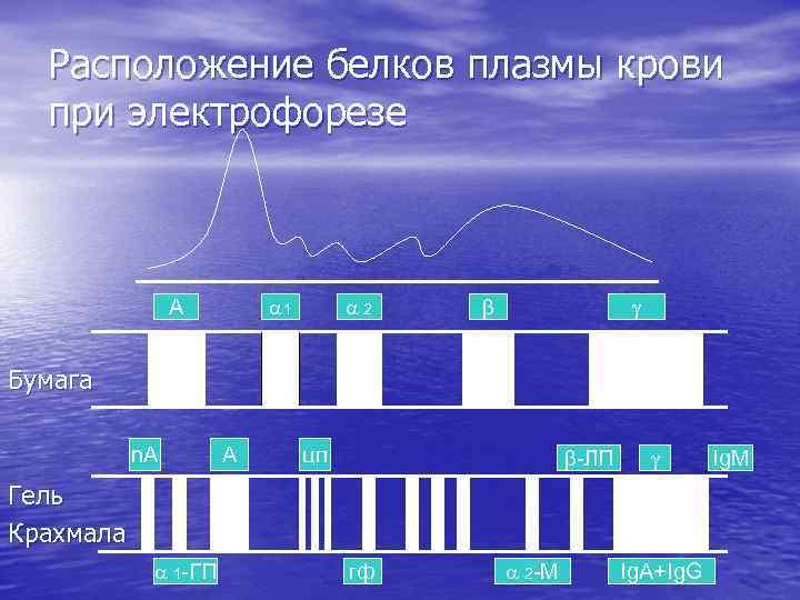 Расположение белков плазмы крови при электрофорезе 1 А 2 Бумага n. A А цп