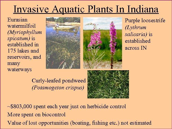 Invasive Aquatic Plants In Indiana Eurasian watermilfoil (Myriophyllum spicatum) is established in 175 lakes