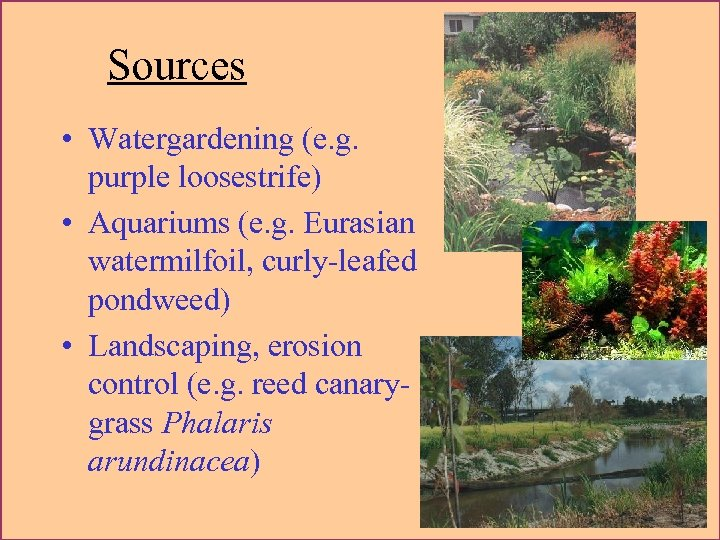 Sources • Watergardening (e. g. purple loosestrife) • Aquariums (e. g. Eurasian watermilfoil, curly-leafed