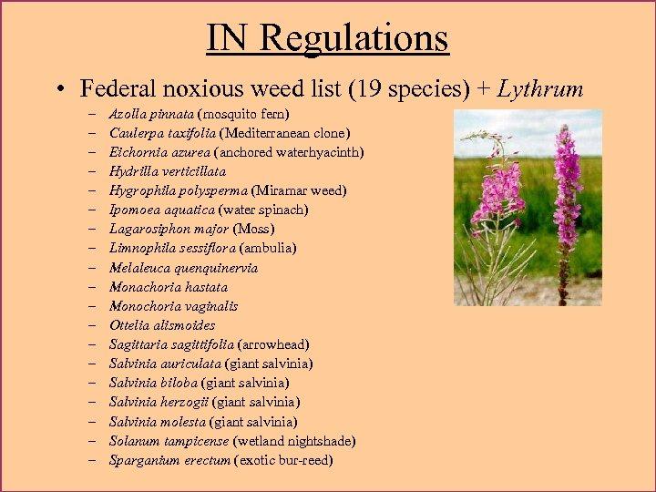 IN Regulations • Federal noxious weed list (19 species) + Lythrum – – –