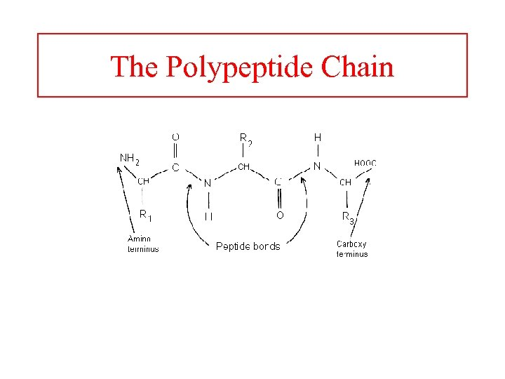 The Polypeptide Chain
