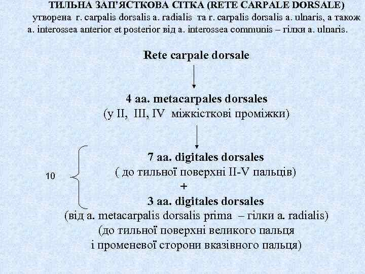 ТИЛЬНА ЗАП'ЯСТКОВА СІТКА (RETE CARPALE DORSALE) утворена r. carpalis dorsalis a. radialis та r.
