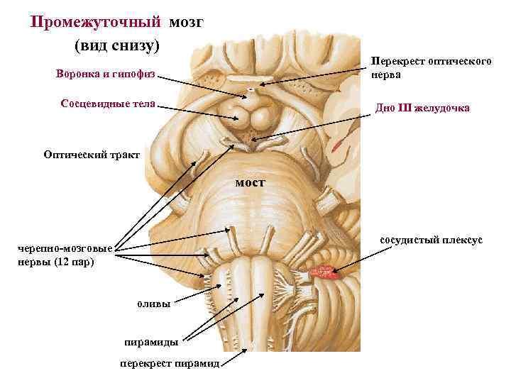 Промежуточный мозг сосцевидные тела