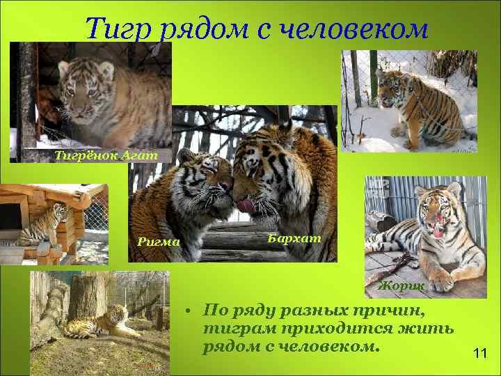 Тигр рядом с человеком Тигрёнок Агат Ригма Бархат Жорик • По ряду разных причин,