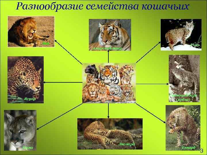 Разнообразие семейства кошачьих Лев Амурский тигр Снежный барс (ирбис) Ягуар Пума Рысь Леопард Гепард