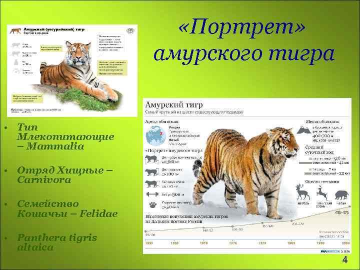 «Портрет» амурского тигра • Тип Млекопитающие – Mammalia • Отряд Хищные – Carnivora