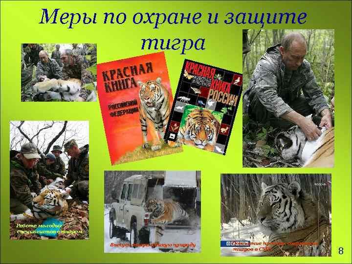 Меры по охране и защите тигра Работа молодых специалистов с тигром Выпуск тигра в