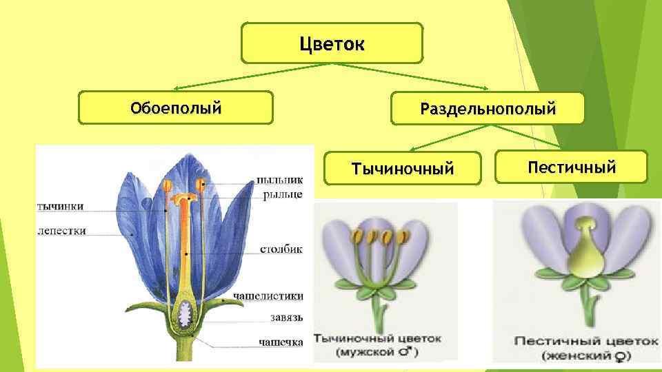 картинки обоеполого цветка говорить