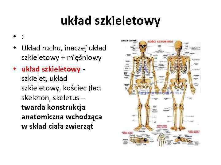 układ szkieletowy • : • Układ ruchu, inaczej układ szkieletowy + mięśniowy • układ