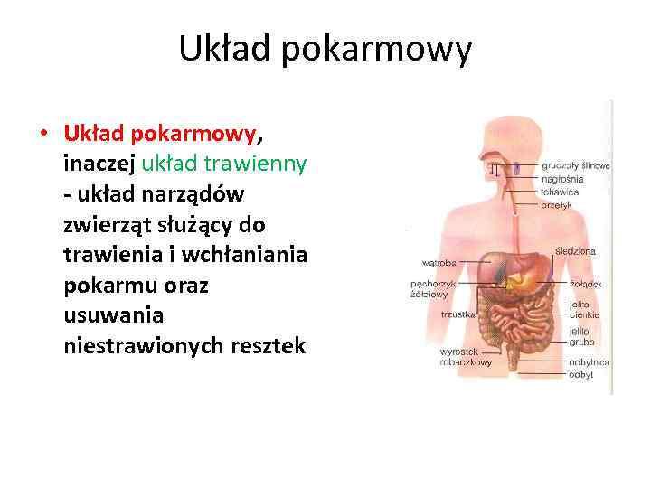 Układ pokarmowy • Układ pokarmowy, inaczej układ trawienny - układ narządów zwierząt służący do
