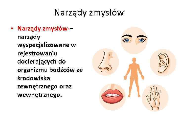 Narządy zmysłów • Narządy zmysłów-– narządy wyspecjalizowane w rejestrowaniu docierających do organizmu bodźców ze