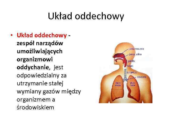 Układ oddechowy • Układ oddechowy - zespół narządów umożliwiających organizmowi oddychanie, jest odpowiedzialny za