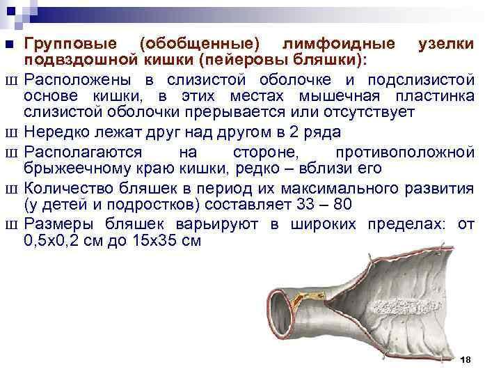 n Ш Ш Ш Групповые (обобщенные) лимфоидные узелки подвздошной кишки (пейеровы бляшки): Расположены в