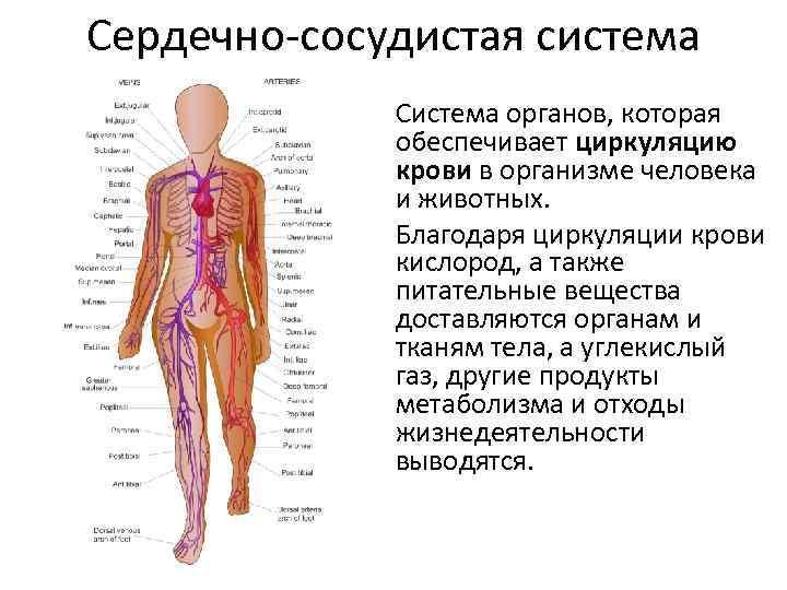 Сердечно-сосудистая система Система органов, которая обеспечивает циркуляцию крови в организме человека и животных. Благодаря