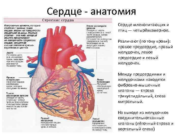 Сердце - анатомия Сердце млекопитающих и птиц — четырёхкамерное. Различают (по току крови): правое
