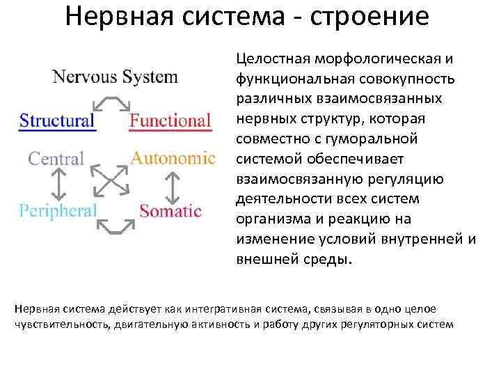 Нервная система - строение Целостная морфологическая и функциональная совокупность различных взаимосвязанных нервных структур, которая