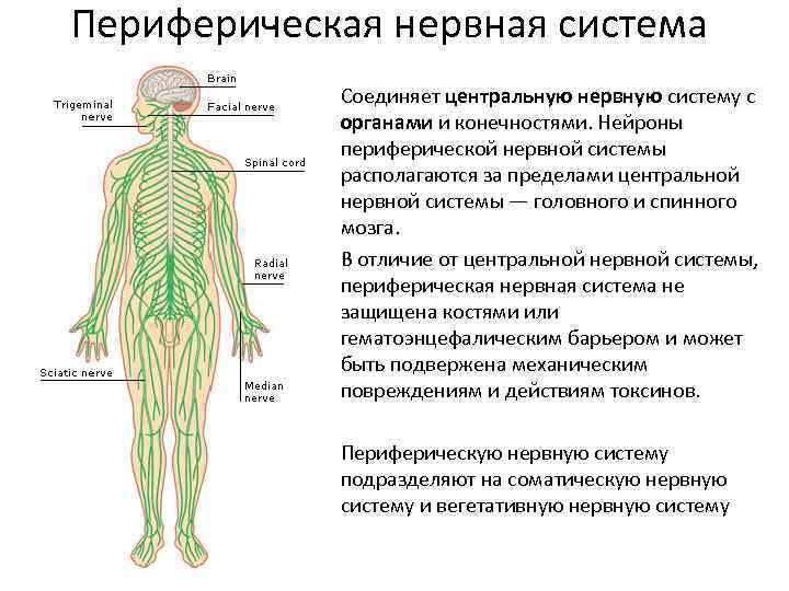 Периферическая нервная система Соединяет центральную нервную систему с органами и конечностями. Нейроны периферической нервной