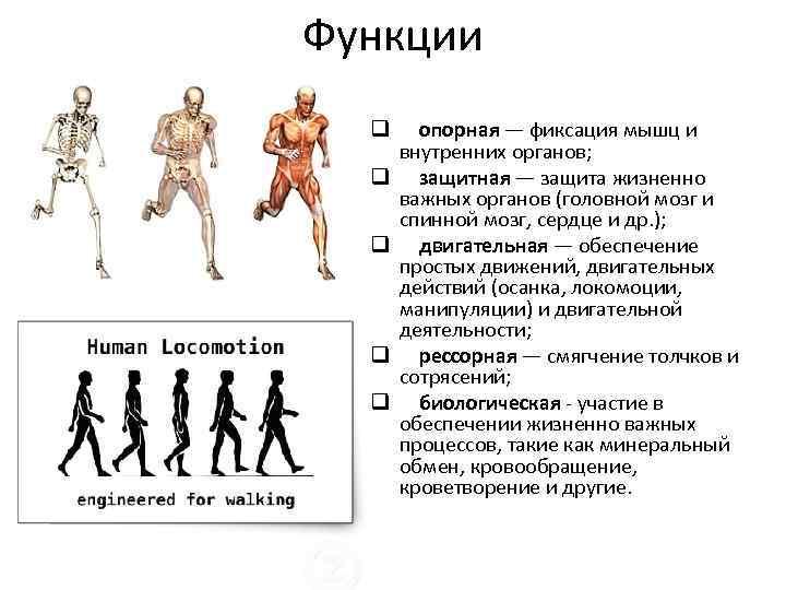 Функции q q q опорная — фиксация мышц и внутренних органов; защитная — защита