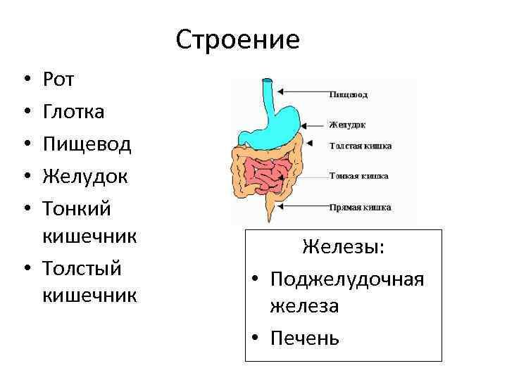 Строение Рот Глотка Пищевод Желудок Тонкий кишечник • Толстый кишечник • • • Железы: