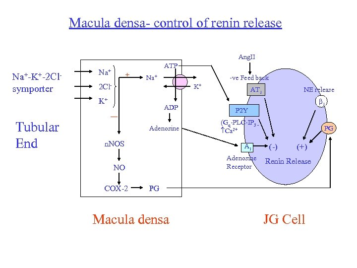 Macula densa- control of renin release Ang. II Na+-K+-2 Clsymporter ATP Na+ + Na+