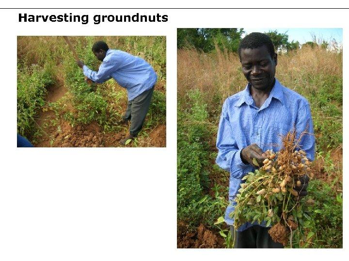 Harvesting groundnuts 42