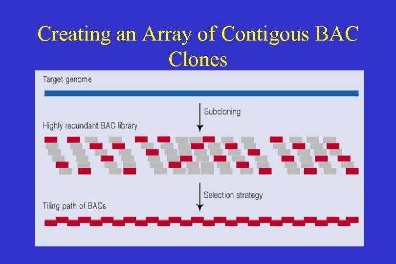 Creating an Array of Contigous BAC Clones