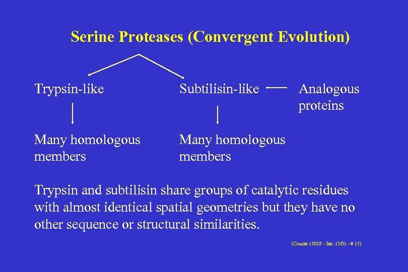 Serine Proteases (Convergent Evolution) Trypsin-like Subtilisin-like Many homologous members Analogous proteins Many homologous members