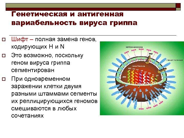 Генетическая и антигенная вариабельность вируса гриппа o o o Шифт – полная замена генов,