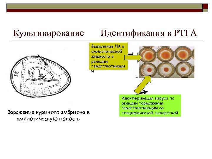 Культивирование Идентификация в РТГА Выявление НА в амниотической жидкости в реакции гемагглютинаци и Заражение