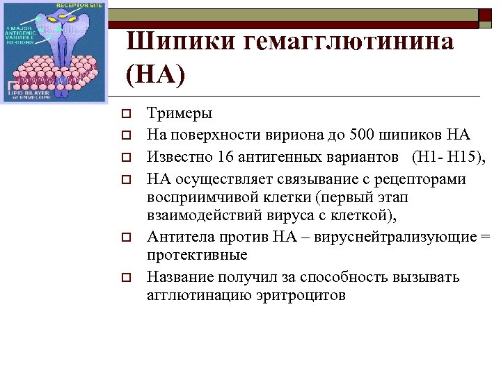 Шипики гемагглютинина (HA) o o o Тримеры На поверхности вириона до 500 шипиков HA