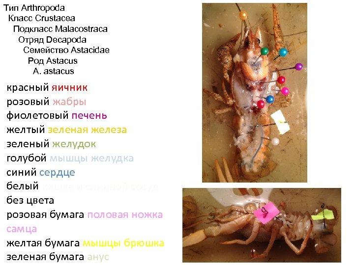 Тип Arthropoda Класс Crustacea Подкласс Malacostraca Отряд Decapoda Семейство Astacidae Род Astacus A. astacus