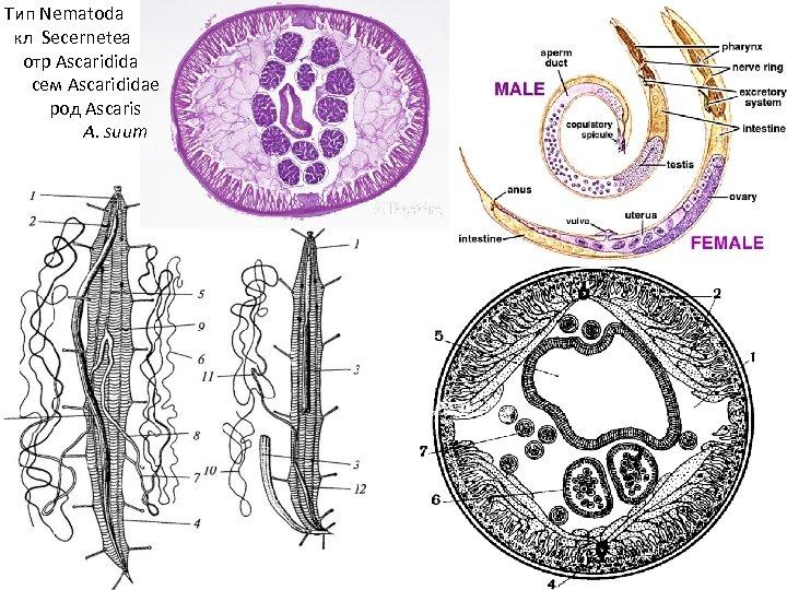 Тип Nematoda кл Secernetea отр Ascaridida сем Ascarididae род Ascaris A. suum