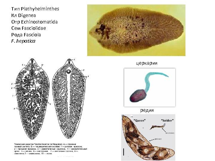 Тип Plathyhelminthes Кл Digenea Отр Echinostomatida Сем Fasciolidae Рода Fasciola F. hepatica церкария редия