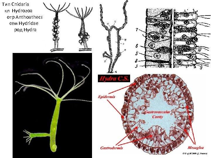 Тип Cnidaria кл Hydrozoa отр Anthoathecata сем Hydridae род Hydra