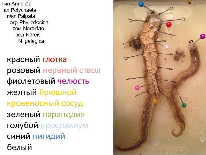 Тип Annelida кл Polychaeta п/кл Palpata отр Phyllodocida сем Nereidae род Nereis N. pelagica