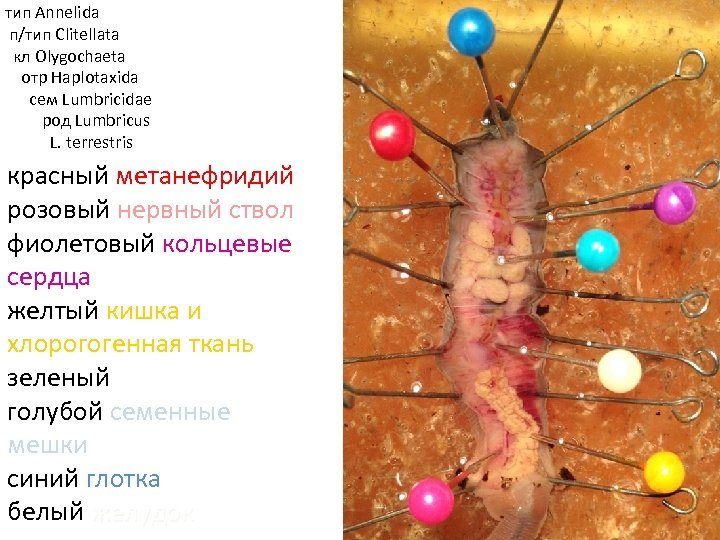 тип Annelida п/тип Clitellata кл Olygochaeta отр Haplotaxida cем Lumbricidae род Lumbricus L. terrestris