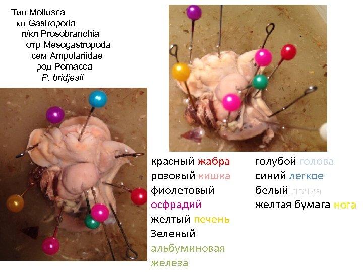 Тип Mollusca кл Gastropoda п/кл Prosobranchia отр Mesogastropoda сем Ampulariidae род Pomacea P. bridjesii