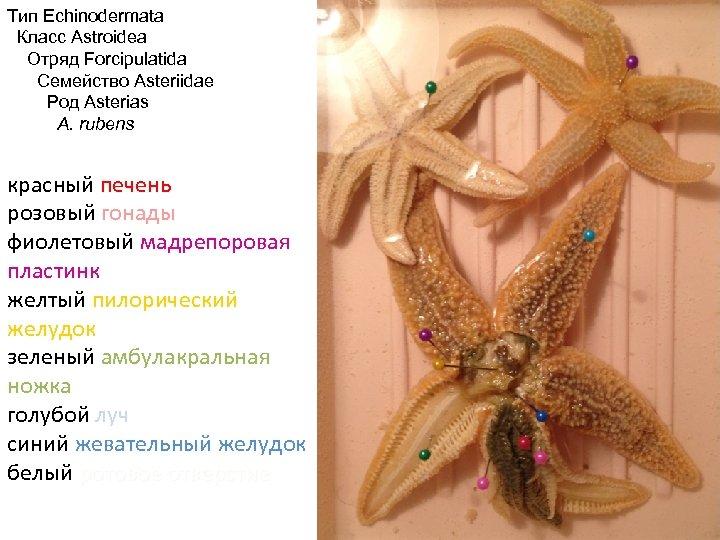 Тип Echinodermata Класс Astroidea Отряд Forcipulatida Семейство Asteriidae Род Asterias A. rubens красный печень