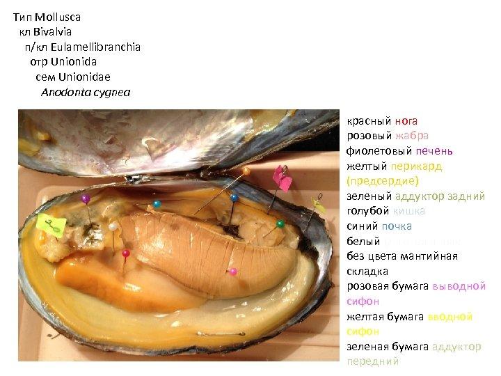 Тип Mollusca кл Bivalvia п/кл Eulamellibranchia отр Unionida сем Unionidae Anodonta cygnea красный нога