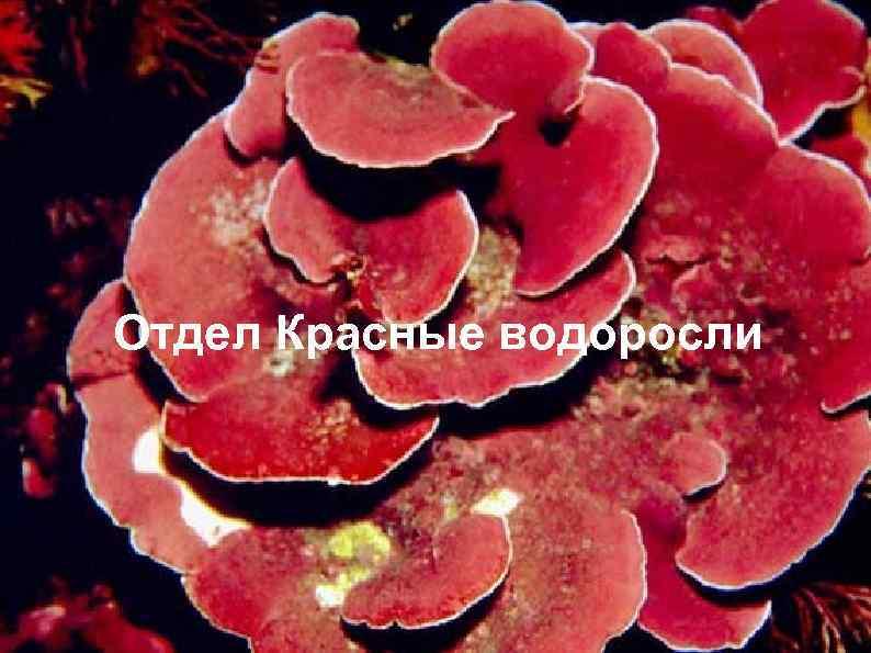 Отдел Красные водоросли