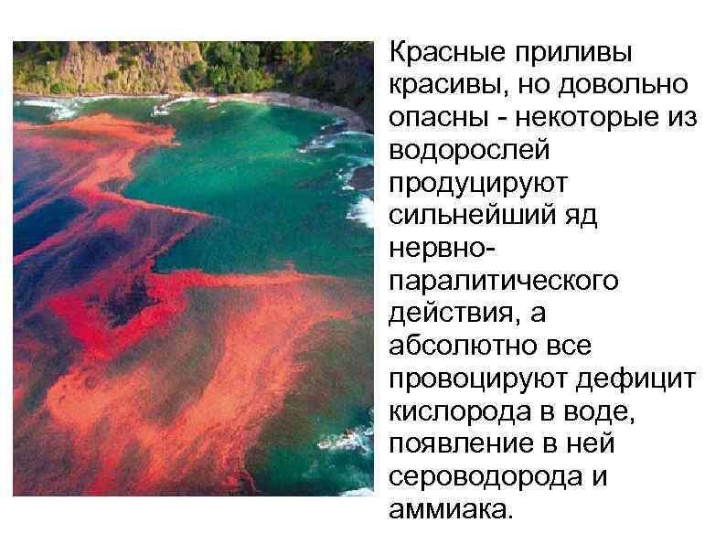 Красные приливы красивы, но довольно опасны - некоторые из водорослей продуцируют сильнейший яд нервнопаралитического