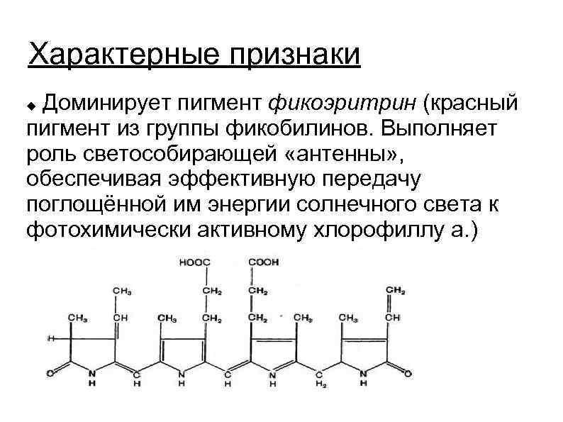Характерные признаки Доминирует пигмент фикоэритрин (красный пигмент из группы фикобилинов. Выполняет роль светособирающей «антенны»
