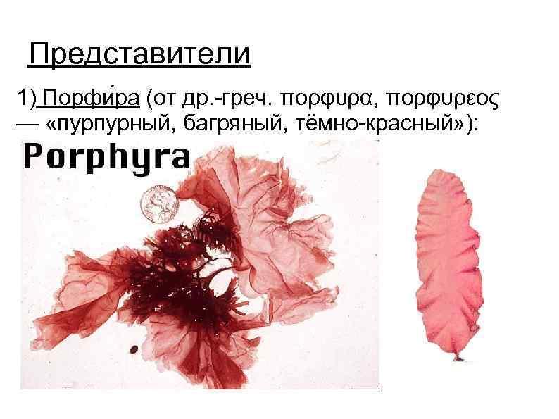 Представители 1) Порфи ра (от др. -греч. πορφυρα, πορφυρεος — «пурпурный, багряный, тёмно-красный» ):
