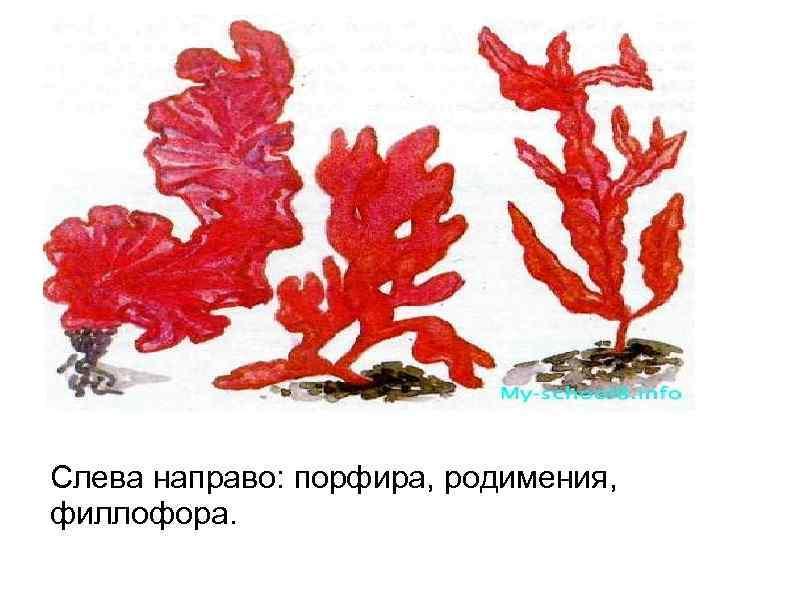 Слева направо: порфира, родимения, филлофора.